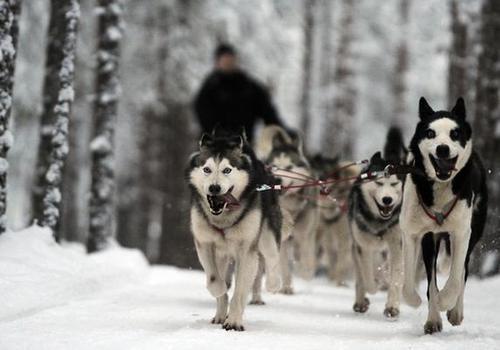 Huskies pull a sled in Rovaniemi.